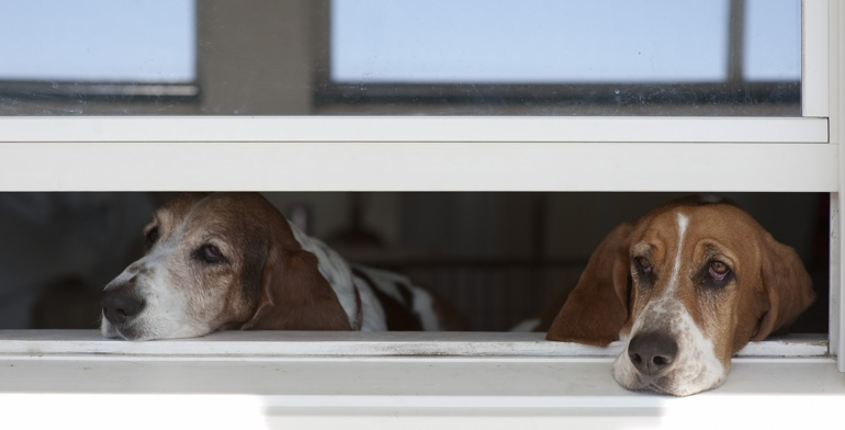 Dogs look out open window without window covering in Las Vegas.